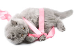 British kitten playing with ribbon isolated Royalty Free Stock Photos