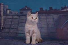 British kitten playing on the roof of a summer night Stock Photo