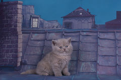 British kitten playing on the roof of a summer night Royalty Free Stock Photography