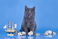 British kitten playing with a ship Stock Photos