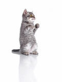 British kitten in a pose of boxer royalty free stock photo