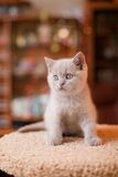 British kitten posing. Cute British kitten posing at home Stock Images