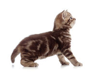 British kitten profile side view Royalty Free Stock Images