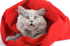 British kitten in red bag isolated Royalty Free Stock Images