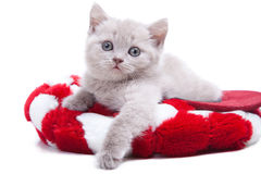 British kitten in red hat Stock Image
