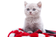 British kitten in red hat Royalty Free Stock Image