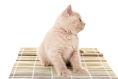 British kitten sitting on a napkin Royalty Free Stock Image