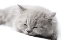 British kitten sleeping isolated Royalty Free Stock Photo