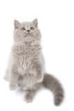 British kitten standing on it's paws Stock Image