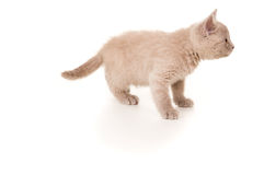British kitten stands and looks Stock Photo