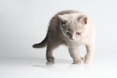 British kitten in studio Royalty Free Stock Image