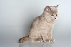 British kitten in studio Royalty Free Stock Photos