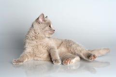 British kitten in studio Stock Photos