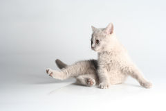 British kitten in studio Royalty Free Stock Images