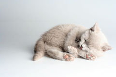 British kitten in studio Royalty Free Stock Photo