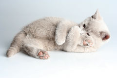 British kitten in studio Royalty Free Stock Image