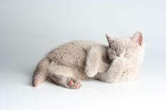 British kitten in studio Stock Photo