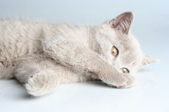 British kitten in studio Stock Image