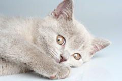 British kitten in studio Royalty Free Stock Photos