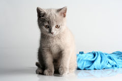 British kitten in studio Royalty Free Stock Images