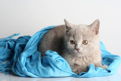 British kitten in studio Stock Photography