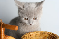British kitten in studio Stock Images