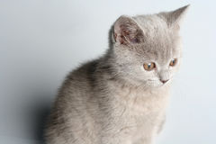 British kitten in studio Stock Photos