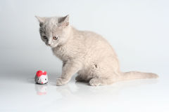 British kitten in studio Royalty Free Stock Photography
