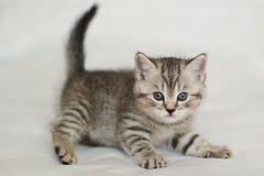 British kitten tabby, pet house. Kitten, pet house, beautiful cat, British kitten tabby, Cheshire cat, views kitten, Whiskas coat color stock photo