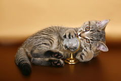 British kitten with a toy Royalty Free Stock Photo