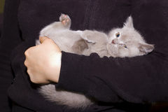 British kitten upside down Stock Photos
