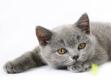 British kitten on white Royalty Free Stock Photo