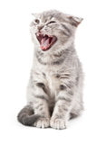 British kitten on white Royalty Free Stock Photos