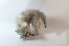 British kitten white chinchilla plays with toy mouse Stock Photography