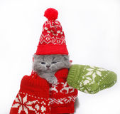 British kitten in winter clothes Stock Photos