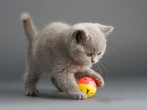 British kittens. A young male British breed on a gray background. Not isolated Royalty Free Stock Image