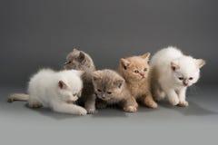 British kittens Royalty Free Stock Image