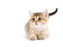 British kittens Stock Photography