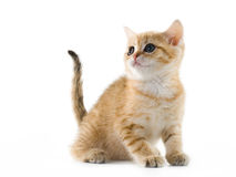 British kittens Royalty Free Stock Photography