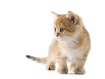 British kittens Royalty Free Stock Images