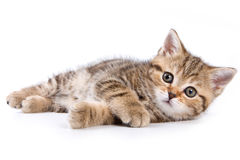 British kittens. On white backgrounds Stock Photos
