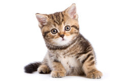 British kittens Royalty Free Stock Photo