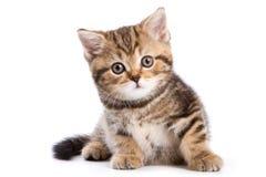 British kittens Royalty Free Stock Photo