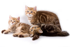British kittens Stock Image
