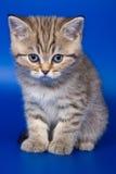 British kittens Stock Images