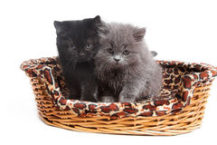 British kittens Stock Images