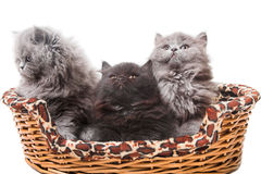 British kittens Stock Photo