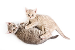 British kittens Stock Photos