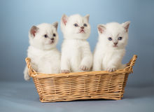 British kittens in basket Stock Images