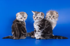 British kittens on blue Royalty Free Stock Photography
